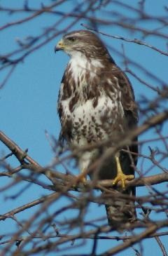 Mäusebussard / Common buzzard